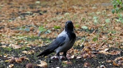 Hooded Crow Moving in Slow Motion. Stock Footage