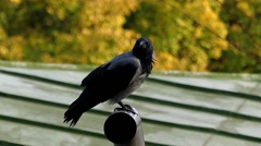 Black Crow Sitting on a Pipe in Slow Motion. Stock Footage