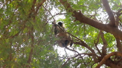 Langur monkeys are hiding in crown of old acacia tree 5 Stock Footage