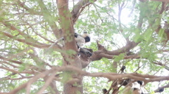 Langur monkeys are hiding in crown of old acacia tree 6 Stock Footage