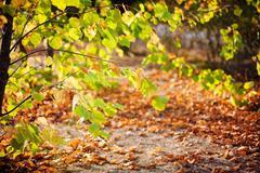 Tree autumn yellow leaves Kuvituskuvat