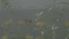 A Monarch Butterfly emerges from a bush full of yellow flowers. Stock Footage