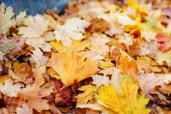 Leaves in various autumnal colors. Fall foliage Stock Photos