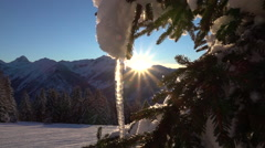 CLOSE UP: Beautiful frozen icicle on a snowy spruce tree at winter sunrise Stock Footage