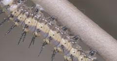Caterpillar prepares to attach to silk button for metamorphosis 4k super macro Stock Footage
