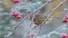 Mistle Thrush eating rowan berries. Stock Footage
