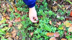 Berry-picker gathers red berries of cowberry Stock Footage