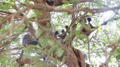 Bunch of monkeys (langur) got the branchy tree Stock Footage