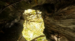 In the hollow of a tree falling leaves Stock Footage