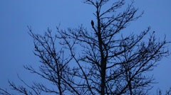 Blackbird. The song on the tree in the twilight Stock Footage