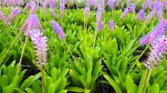 Bromeliad in the nursery, Thailand  , left pan Stock Footage
