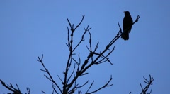 Blackbird. The song on the tree in the twilight . Stock Footage