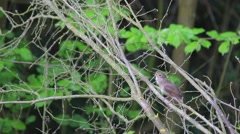 Thrush Nightingale. Song. Spring. Stock Footage