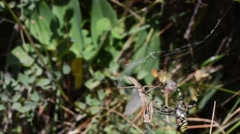 Spider captures a male of Praying Mantid (Mantis religiosa) in its web Stock Footage
