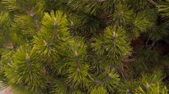 The camera flies around the shaggy branches of fir tree Stock Footage