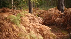 Autumn in the forest: ferns faded away Stock Footage