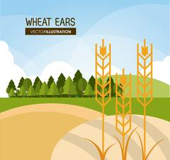 Wheat ears design, farm and agriculture concept, ve Stock Illustration