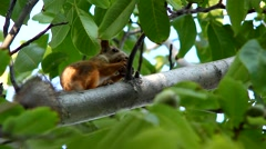 Squirrel on a tree in the forest Stock Footage