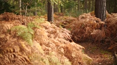 Autumn in the forest: faded ferns Stock Footage