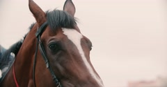 Thoroughbred race horse brown extreme close-up face before a race, serious look Stock Footage