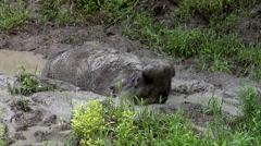 Bornean rhino, Sabah Rhino Project, Sumatran rhinoceros, mud bath Stock Footage