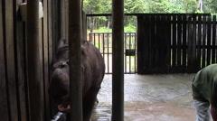 Bornean rhino, Sabah Rhino Project, Sumatran rhinoceros Stock Footage