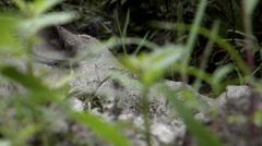 Mud bath, Tamtam, Sabah Rhino, close-up Stock Footage