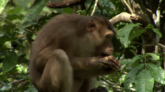 Macaque monkeys In Bushes, eating Stock Footage