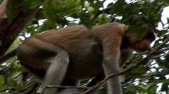 Large Nosed Proboscis Monkey, Among Green Foliage, eating Stock Footage
