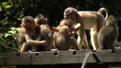 Macaque kindergarden Stock Footage