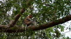 Large Nosed Proboscis Monkey, Among Green Foliage, eating Stock Footage