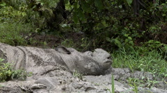Tamtam in the mud bath Stock Footage
