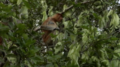 Large Nosed Proboscis Monkey, eating Stock Footage