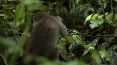 Baby Macaque monkey and Malaysia Stock Footage