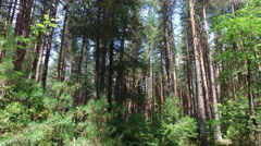 Tracking shot in a thick deciduous forest of pine trees, 4k Stock Footage