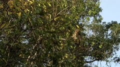 Macaque monkey eating and sitting on tree branches Malaysia Stock Footage