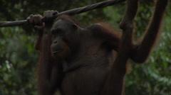 Endangered Orangutan In Borneo Stock Footage