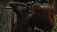 Two Endangered Orangutans In Borneo Stock Footage