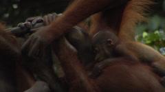 Baby ornagutan In Borneo Stock Footage