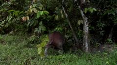 Bornean rhino, Sabah Rhino Project, Sumatran rhinoceros, protected area Stock Footage