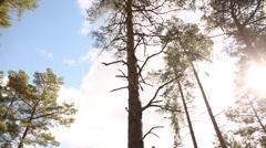 Gigantic Pine Tree Stock Footage