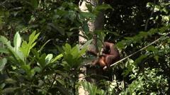 Orangutan In Bushes Stock Footage