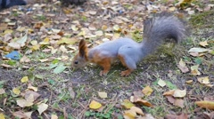 Beautiful squirrel running in the Park Stock Footage
