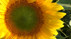 Sunflower in nature with wind that makes it move Stock Footage