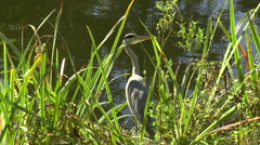 Long Shot of Heron Standing at Edge of Lake Amongst Reeds Stock Footage