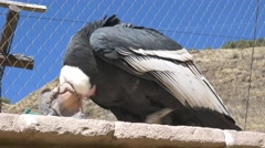 Watchful Peruvian Condor Stock Footage