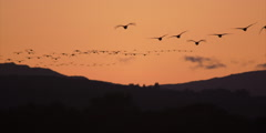 Flock of geese in flight at sunset Stock Footage