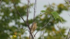 Yellow Bittern resting on tree Stock Footage