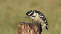 Downy Woodpecker (Picoides pubescens) Stock Footage