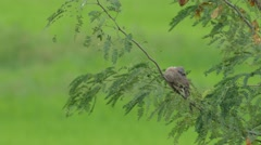 Spotted dove is resting on the tree Stock Footage